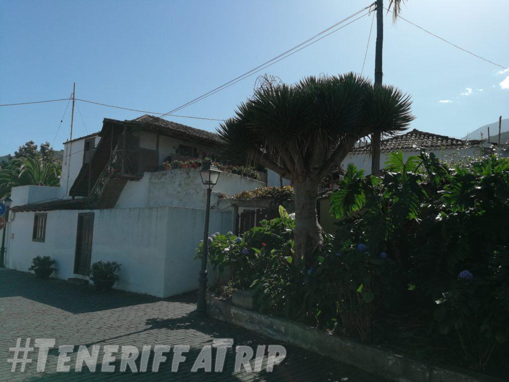 Drachenbaum in La Guancha
