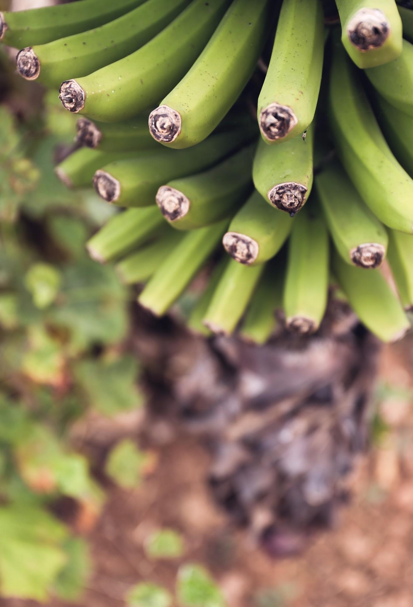 Ferienhaus Tegueste Finca Bananen