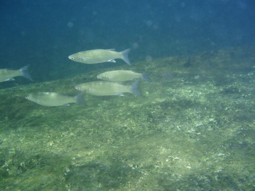 Teneriffa Tauchen Kastenmaul-Meeräsche