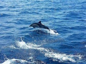 Gemeiner Delfin, Delphinus Delphis, Teneriffa Whale Watching
