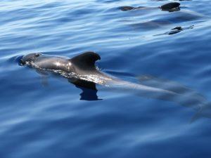 Pilotwal, Kurzflossen-Grindwal Whale Watching Teneriffa Walbeobachtung