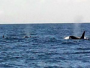Orcas Teneriffa Whale Watching Walbeobachtung Waltour