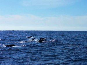 Falscher Orca, Kleiner Orca, Whale Watching Teneriffa Waltour