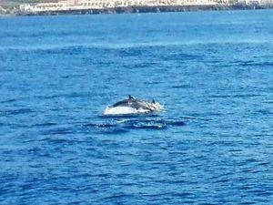 Streifendelfin Teneriffa Waltour Delfintour Whale Watching