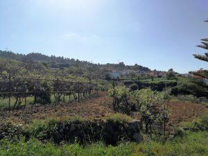 Weinberge Wein La Guancha